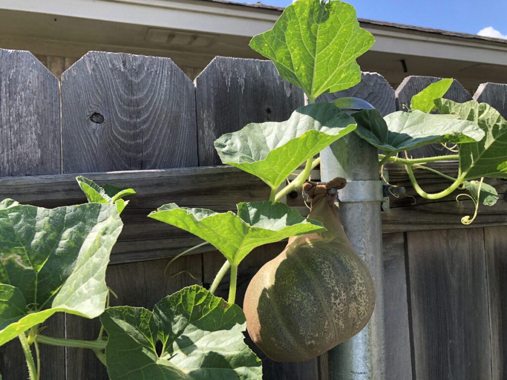 Cantaloupe support using hose tied to the fence bolts July 27th, 2020