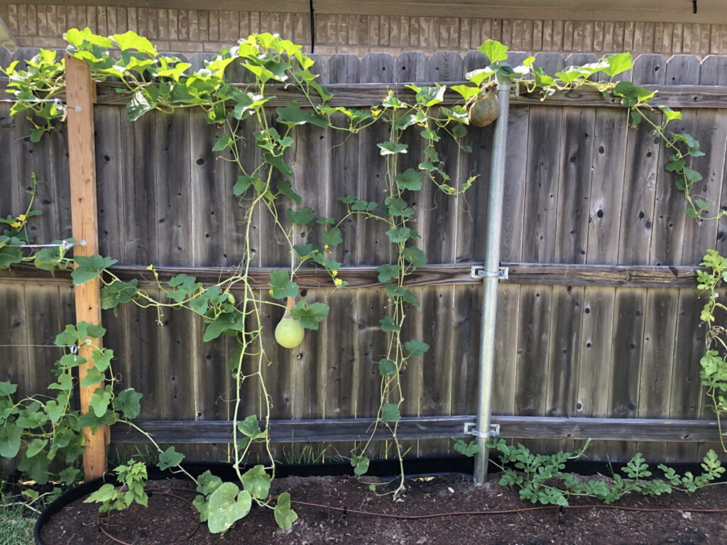 Cantaloupe top right growing up by the steel post and honeydew in middle on 7-27-2020